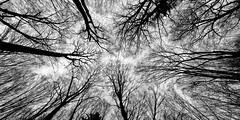 forest  2794 (s.alt) Tags: forest wald holz forst gehölz wood woodland forêt bois elbosque la floresta selva foresta bosco nature abstract surreal unwirklich abstrakt weitwinkel widelens wideangle lookingup natureunveiled winter cold silhouette blackwhite bw schwarzweiss sw bbs beautyofsilhouettesandshadows branch baum tree ast kalt structure texture detail woods purity beauty black blackandwhite monochrome outdoor nest zweig plant branchlet bayern bavaria bwphotography bnwphotography blacknwhite noir noire minimal minimalism