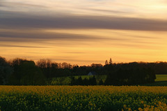 Quand la terre et le ciel sont d'or.//  When the earth and the sky are golden. (~Laurence~) Tags: fleurs colza normandie canon 70d coucherdesoleil landscape france