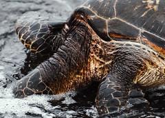Turtle Skin (Geoff Sills) Tags: sea turtle skin neck shell water eating food nature head creature ocean telephoto wildlife hawaii punaluu black sand beach big island animal nikon d700 70200 200mm 28g geoffrey william sills geoff illumeon digital illumeondigital