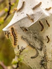 Brown-tail Moth Caterpillars (niloc's pic's) Tags: browntailmoth caterpillar euproctischrysorrhoea larvae moth southdowns birlinggap eastsussex panasonic lumix dmcgh4r