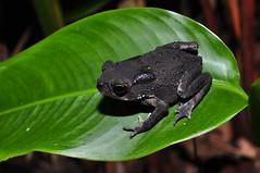 Common Sunda Toad (Duttaphrynus melanostictus) (Sky and Yak) Tags: duttaphrynus melanostictus duttaphrynusmelanostictusiscommonlycalledasiancommontoad asiantoad blackspectacledtoad