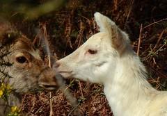 Sika Deer (Cervus nippon) (Nick Dobbs) Tags: sika deer cervus nippon mammal dorset heath heathland forest leucistic leucism doe