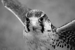 Female Lanner falcon in B&W. ((c) MAMF photography.) Tags: aldbrough aldbroughleisurepark aldbroughcaravanpark britain blackwhite blackandwhite bw biancoenero beauty blancoynegro blanco blancoenero beautiful peregrinefalcon enblancoynegro ennoiretblanc dark d7100 england eastyorkshire eastcoast flickrcom flickr google googleimages gb greatbritain greatphotographers greatphoto mamfphotography mamf monochrome inbiancoenero image images interesting nikon noiretblanc noir nikond7100 north negro northernengland nature bird birds birdofprey photography photo pretoebranco sex schwarzundweis schwarz uk unitedkingdom upnorth wildlife yorkshire zwartenwit zwartwit zwart lannerfalcon