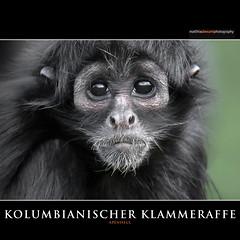 KOLUMBIANISCHER KLAMMERAFFE (Matthias Besant) Tags: braunkopfklammeraffe kolumbianischerklammeraffe kolumbienbraunkopfklammeraffe atelesfuscicepsrufiventris affe affen affenfell animal animals fell hominidae hominoidea mammal mammals menschenaffen menschenartig menschenartige monkey monkeys primat primaten saeugetier saeugetiere tier tiere trockennasenaffe schauen blick blicken augen eyes look looking klammeraffe spidermonkey zoo matthiasbesant matthiasbesantphotography jungtier baby