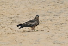 Black Kite (sreejithkallethu) Tags: blackkite kite nature naturephotography birdsofkerala vellanathuruth kollam kerala
