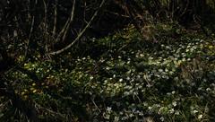 Buschwindröschen (Anemone nemorosa) und Scharbockskraut (Ficaria verna) an einem Sorge-Vorfluter; Bergenhusen, Stapelholm (113) (Chironius) Tags: stapelholm schleswigholstein deutschland germany allemagne alemania germania германия szlezwigholsztyn niemcy blüte blossom flower fleur flor fiore blüten цветок цветение weis ranunculales hahnenfusartige ranunculaceae hahnenfusgewächse ranunculoideae anemoneae windröschen anemone buschwindröschen bergenhusen