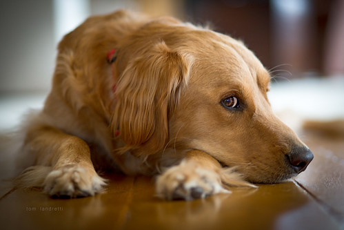 saturday afternoons (tom landretti) Tags: golden dog goldenretriever charlie