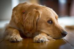 saturday afternoons (tom landretti) Tags: golden dog goldenretriever charlie