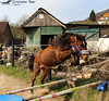 Young Horse (ChrisAir86) Tags: young horse fun play brown horses horsesofinstagram horseriding cheval equipo art landscape human wayoflife equestrian middle dark age equine equineart equines equinesofinstagram horselife horselove