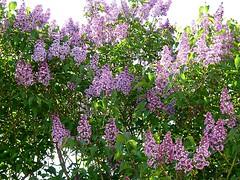 Lilac time 115/365 (Hornbeam Arts) Tags: syringa garden tree