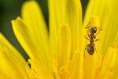 Ant on dandelion (TDotson) Tags: canon canon70d mpe mpe65 mpe65mm macro macrolicious macrolife macronaut dandelion ant insect insectmacro yellow spring