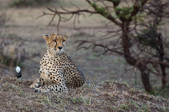 Disconsolate Cheetah (Ring a Ding Ding) Tags: 2017 acinonyxjubatus africa bigcat kenya kitcheche masaimara olareorek cat cheetah nature predator safari wildcat wildlife narokcounty coth