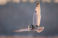 Short Eared Owl (Vic Zigmont) Tags: raptor birdinflight shortearedowl shortearedowlinflight
