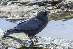 Northwestern Crow (David Badke) Tags: oakbay bc bird