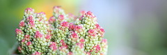 - Rhabarberblüte - (HORB-52) Tags: rhabarber berndsontheimer badenwürttemberg blüte bokeh texturen