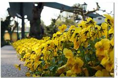 Garten-Stiefmütterchen (Mr.Vamp) Tags: gartenstiefmütterchen blumen flower flowers mrvamp vamp