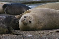 Lobos marinos 1 (isabel muskiz) Tags: lobos marinos animales animals argentina sea lions puerto madryn peninsula valdes mar patagonia