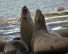 Lobos marinos 3 (isabel muskiz) Tags: lobos marinos animales animals argentina sea lions puerto madryn peninsula valdes mar patagonia