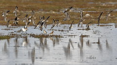 Red-necked Stints and Double-banded Plovers