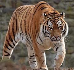 amurtiger Taymir Ouwehands BB2A3026 (j.a.kok) Tags: tijger tiger amurtiger amoertijger taymir pantheratigrisaltaica kat cat zoogdier mammal predator asia azie ouwehands ouwehandsdierenpark