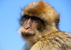 Barbary Macaque. (Chris Kilpatrick) Tags: chris canon canon7dmk2 outdoor nature gibraltar animal wild wildlife upperrocknaturereserve ape barbarymacaque holiday blue march