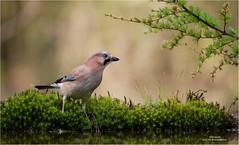 Jay - Gaai 290417(*) (Gertj123) Tags: birds bokeh green spring sigma120300mmf28 canoneos1dmarkiv bird hbn5 haaksbergerveen drinking