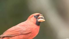 7K8A2819 (rpealit) Tags: scenery wildlife nature florida widlife northern cardinal missing upper beak bird