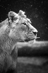 Asiatic lion (mellting) Tags: djurparker eskilstuna nikond500 parkenzoo platser sigma1506005063sport bloggad flickr instagram matsellting mellting nikon sverige sweden asiaticlion asiatisktlejon lion lioness lejon zoo animal mammal bigcat bnw monochrome blackandwhite