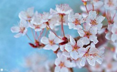 The beauty of Spring (Trayc99) Tags: blossom bloom beautyinnature flower floralphotography closeup blue spring
