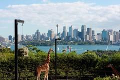 giraffe (Leanne@123) Tags: giraffe sydney tarongazoo skyline