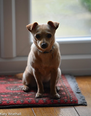 Official portrait (Katy Wrathall) Tags: 104365 2017 2017pad april eastriding eastyorkshire england spring animal canine dog domestic mouse pet