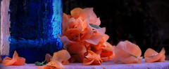 orange and blue (Ani Carrington) Tags: macromondays 2macro mondaysorange blueblueorangestilllifestill life flowers petlas pitcher glass bugambilias bougainvillea