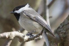 Carolina Chickadee 4-2-2017-16 (Scott Alan McClurg) Tags: emberizidae flickr pcarolinensis paridae passeroidea poecile animal back backyard bird bloom blossom bud carolina carolinachickadee checkadee flickrbirds flower forest life nature naturephotography neighborhood pear perch perching portrait smallbirds songbird suburbs tree wild wildlife winter woods yard