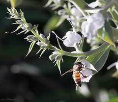 White sage. Salvia apiana and Bee (woohit42) Tags: southerncalifornia california californianativewildflower white sage nature flowersmacroworld flowers bee canonef100mmf28lmacroisusm canon5dmarkiv spring salviaapiana