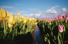 spring sprung, part five (manyfires) Tags: spring blossom bloom flowers floralscape film 35mm analog tulips tulip field row woodburn woodenshoetulipfestival oregon pnw pacificnorthwest landscape nikonf100