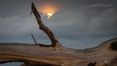 R O A M I N G  B E A S T . (matt burman) Tags: tree driftwood moonrise moonset seascape weather landscape nt gove arnhemland storm australia