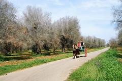(Nicola Montinari) Tags: salento puglia supersano campagna countryside ulivi xylella cavallo horse calesse biroccio barouche calesa caleche codiro oqds nature landscape