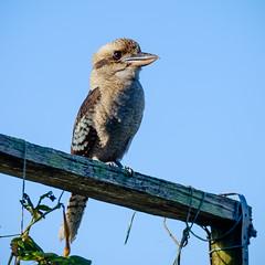 Kookaburra (Wanda Amos@Old Bar) Tags: kookaburra backyard bird