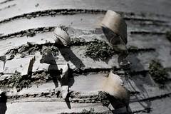 ...tree paper... (carbumba) Tags: tree birchtree bark peel nature closeup nikon