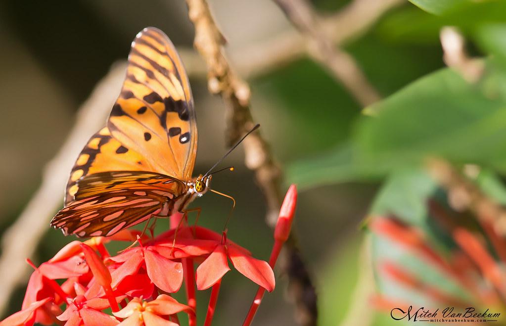 Passion Butterfly (Gulf Fritillary)