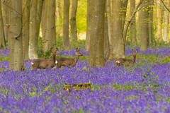 Trio of Roe (Donna Hampshire) Tags: roedeer donnarobinson donnahampshire inspiremephotographycouk nature bluebells woodlands deer hampshire hampshirewildlife capreoluscapreolus spring wildflowers britishwildlife englishbluebells
