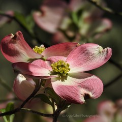 Pretty Pink Dogwood (AngelVibePhotography) Tags: nikon blossom colorful flower blossoms petals closeup outdoors flowers spring nature springtime photography pink macro dogwood dogwoodblossom nikonp900 northcarolina outdoor depthoffield
