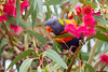 Trichoglossus haematodus - 1180 (liam.jon_d) Tags: eucalyptusleucoxylon trichoglossus trichoglossushaematodus trichoglossusmoluccanus australia australian backyard backyardbirds billdoyle bird bluegum brightlycolored brightlycoloured eucalypt eucalyptus feed feeding flower flowering metropolitan nectar redflower sa sabluegum southaustralia southaustralian suburban pickmeset