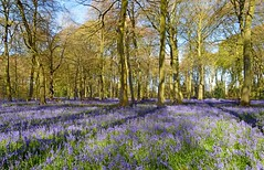 Bluebell wood, Oxfordshire, England (Oswald Bertram) Tags: jacinthes jacinthesdesbois englischeshasenglöckchen englishbluebells atlantischehasenglöckchen spring springflowers primavera printemps frühling frühlingsblumen fioridiprimavera fleursdeprintemps floresdeprimavera fleurs fiori flores blumen blue blau azul azzurro bleu landscape landschaft paysage paisaje paesaggio paisible pacífico tranquille tranquillo friedlich angleterre inghilterra inglaterra woodland bois bosco bosque wald light licht luce lumière luz april avril aprile abril romantic romantico romantique sentimental nature natur naturaleza natura forest shadows ombra ombres ombre sombra sombras