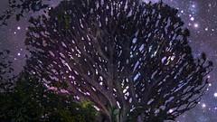 El drago de Pino Santo en Gran Canaria, bajo las estrellas. 235 años de antiguedad (☮ Montse;-))) Tags: drago grancanaria regalito mamá árbol medioambiente paisajeprotegidodepinosanto papá