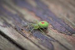 Spider on old wood Glaze (Angelo Petrozza) Tags: spider hmm macromondays macro glaze old wood green verde ragno aracnidi nigma walckenaeri
