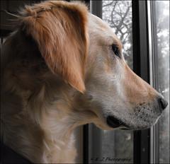 """ A Dog's Daydream "" (John Neziol) Tags: kjphotography goldenretriever fieldretriever pointynoseddogs interestingdogposes dognose pet dogs animal"