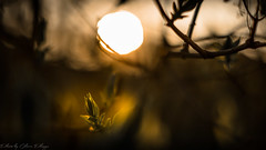 SPRING (Oliver Plagge) Tags: tree flowers sunset spring springtime outdoor bokeh sun green garden new leaves nature natur