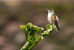 IMG_5120  Amazilia hummingbird (ashahmtl) Tags: amaziliahummingbird bird hummingbird amaziliaamazilia vilcabamba lojaprovince ecuador