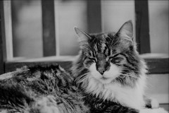 IMG_20170413_0027 (david_z_norton) Tags: 35mm delta100 f100 ilford nikon cat catpicture film mackerel petphoto pets stripes tabby